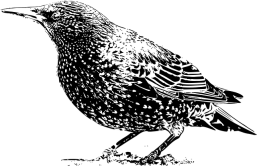 Starling black and white