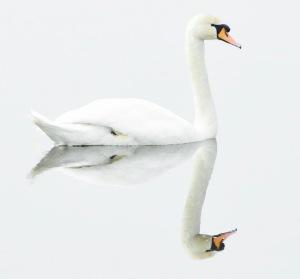 schwan auf dem see mit Spiegelbild