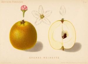 Ananasrenette historische Zeichnung und Querschnitt