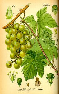 Weintraube weiss